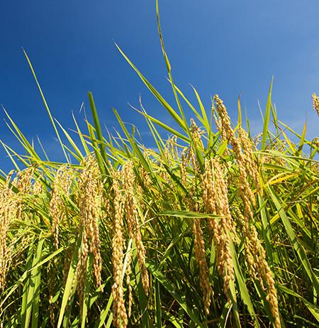 長野県内屈指の米どころ佐久平で育ったお米